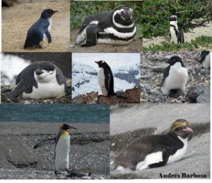 Caminando entre pingüinos Blog de Andrés Barbosa: la visión amena de un especialista en pingüinos, referente internacional