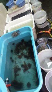 acuarios con erizos de mar Sterechinus neumayeri